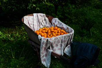 Rich pickings: oranges gathered in a local orchard.
